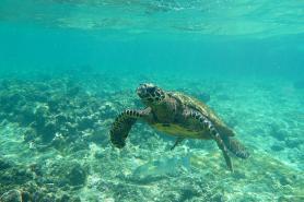 Mořská želva u pobřeží seychelského ostrova Félicité