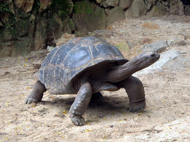 Želva kareta na Seychelách