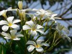 Seychelský bois jasmin