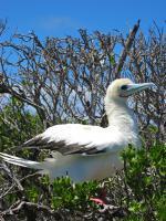 Seychelský terej modronohý