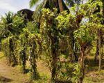 Ostrov La Réunion - vanilková plantáž